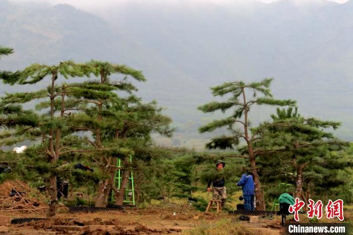 工人在地里修剪松树。 惠六七 摄
